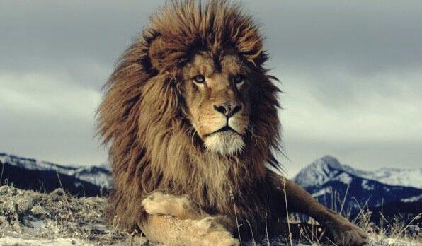 Derrière les crises de nerfs fréquentes bien souvent se cache aussi l'orgueil Lion10