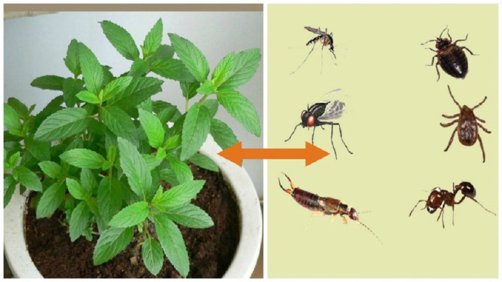 Si vous avez cette plante dans votre maison, vous ne verrez plus jamais de souris, d'araignées ni d'autres insectes! Spin110