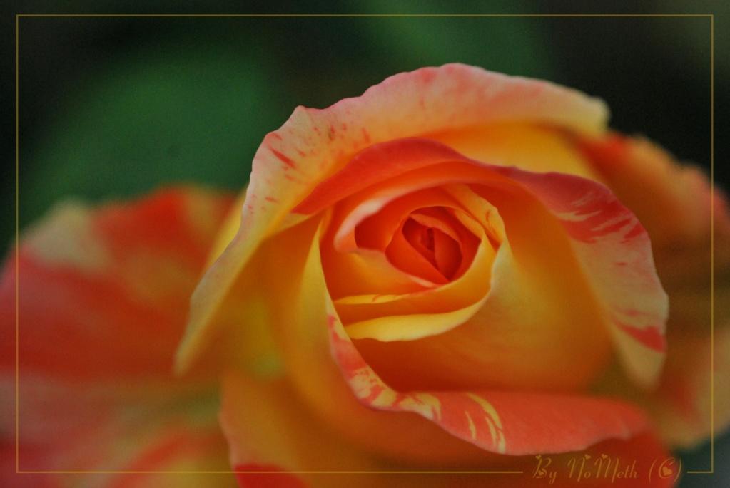 La couleur des roses... Tendre10