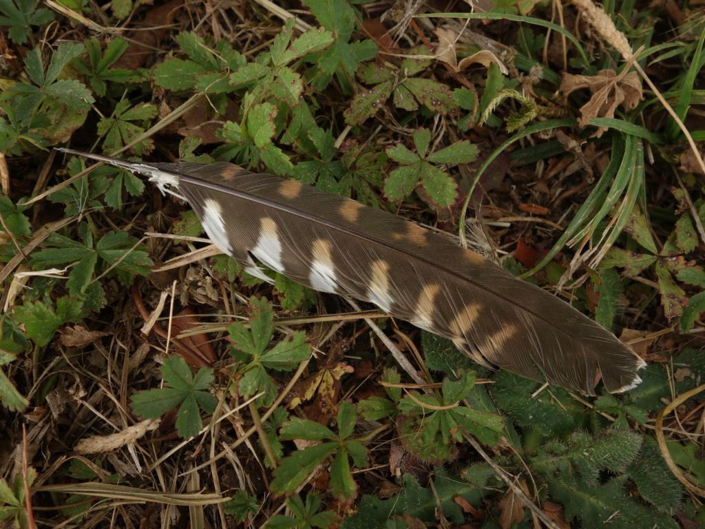 plume de faucon crécerelle 235