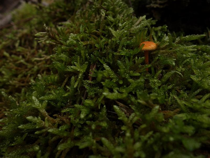 Hygrophoropsis aurantiaca  ? 624