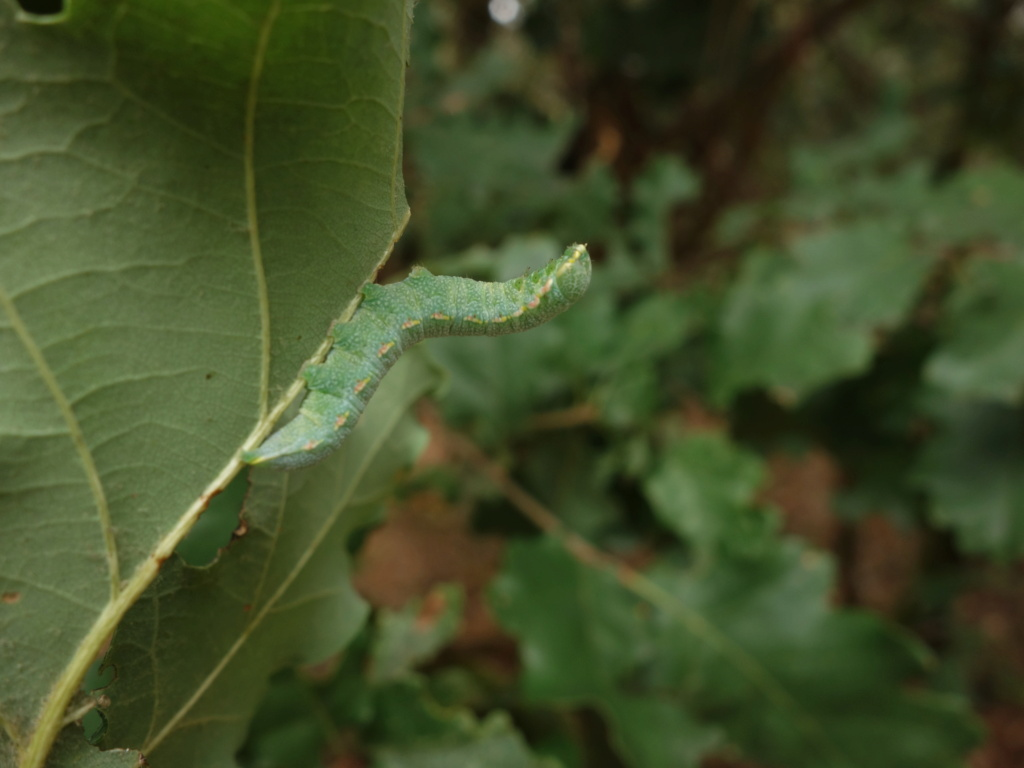 chenille verte sur chêne :  Drymonia querna Chenil10