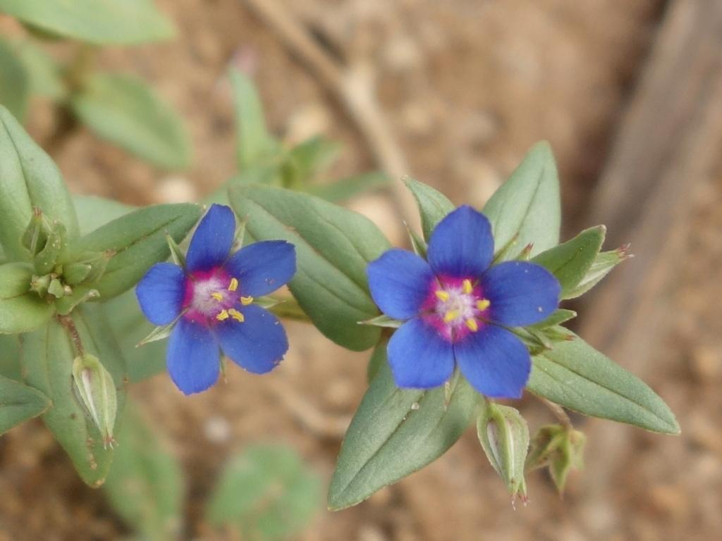 Mouron bleu Dsc09211