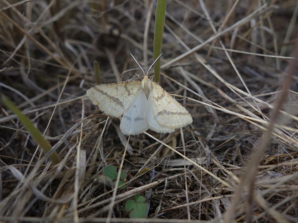 phalène jaune des prairies : Aspitates ochrearia  Phalzo11