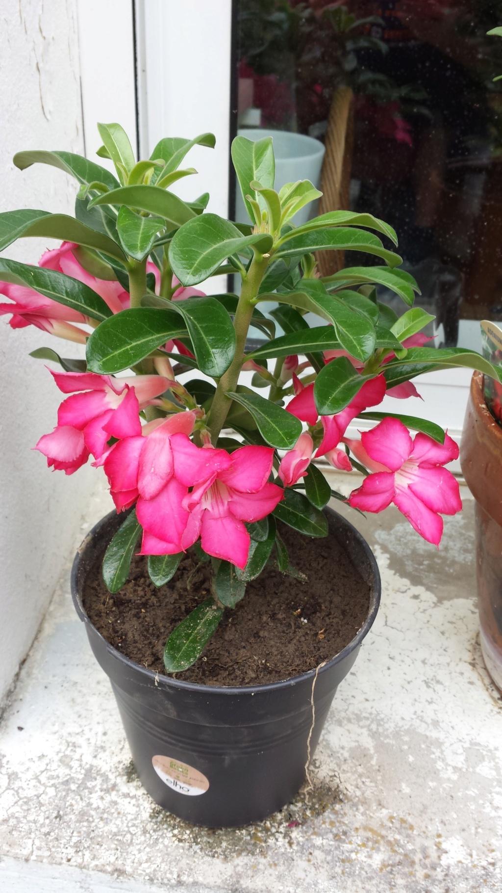 mes adeniums en fleurs en ce moment ! 20150613