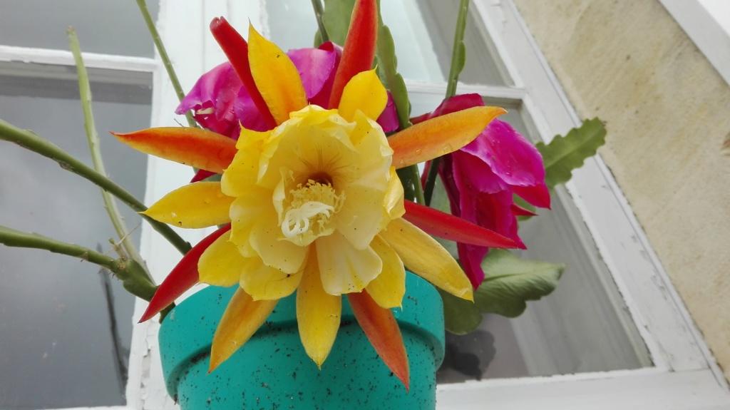 Mes fleurs d 'épiphyllum de cette saison ^^ Img_2010