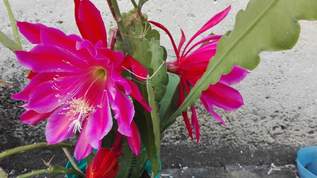 Mes fleurs d 'épiphyllum de cette saison ^^ Img_2012