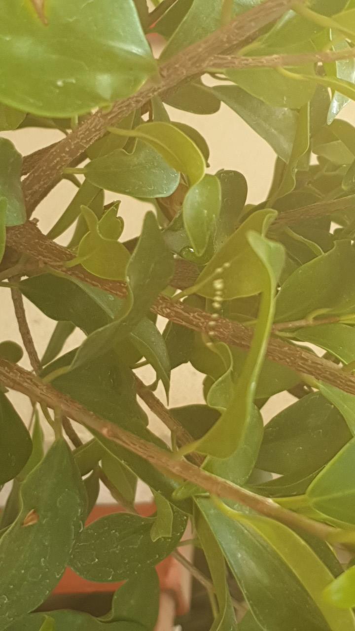 Ficus un poco rarito 2019-510