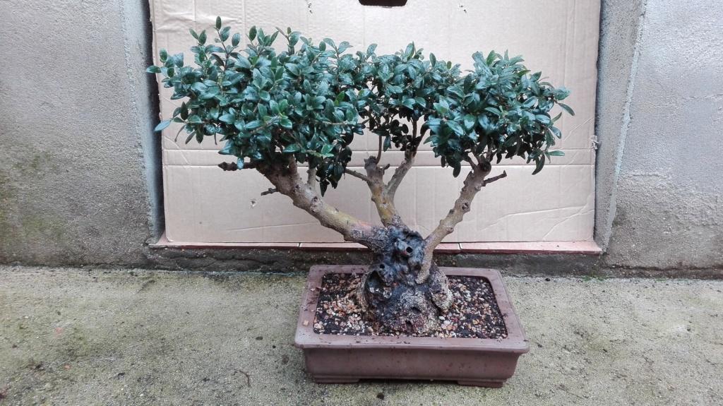 Acebuche Yamadori 6-2-2011