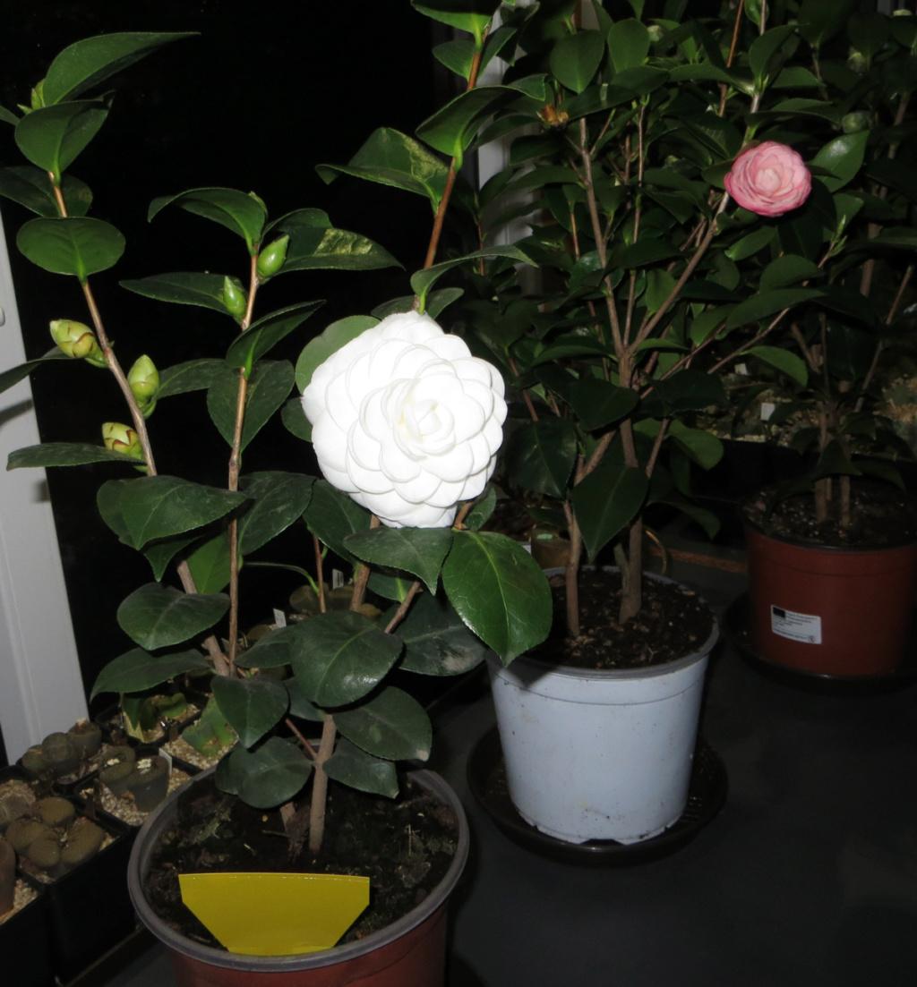 Camellia - Kamelien - Seite 9 Kameli10