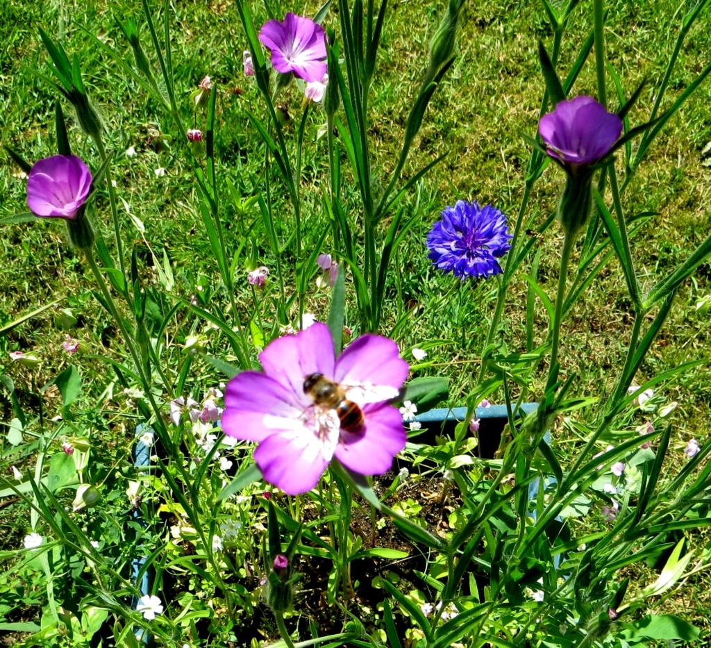 Wildblumen ( Sammelthread) - Seite 21 Kornra10