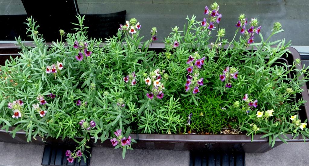 Michis blinder Passagier - was für eine Pflanze ist das? - gelöst: Linaria aeruginea - Seite 3 Linari12