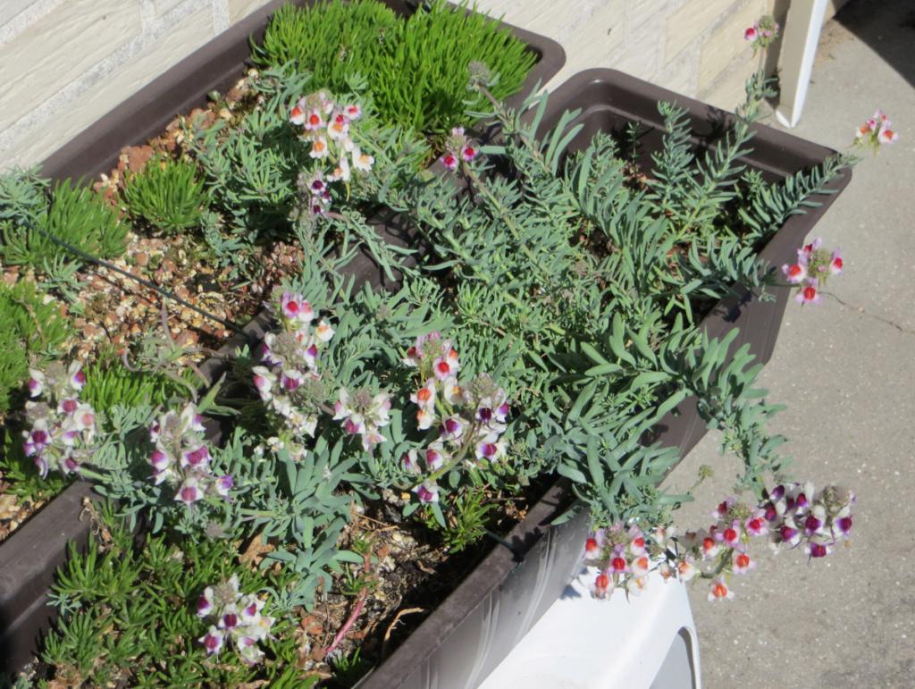 Michis blinder Passagier - was für eine Pflanze ist das? - gelöst: Linaria aeruginea - Seite 4 Linari19