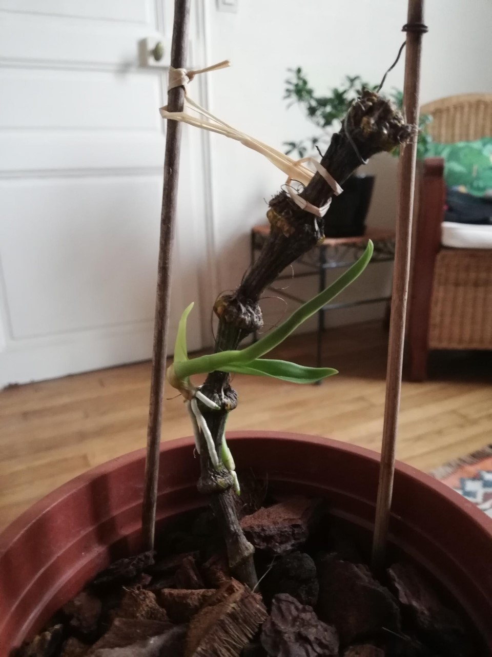 Quel type d'orchidée? Orchid12