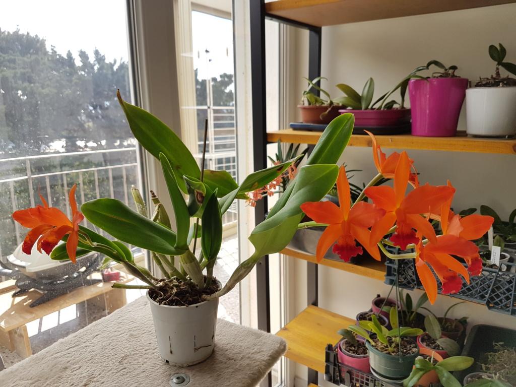 Cattleya hybride orange 20200417