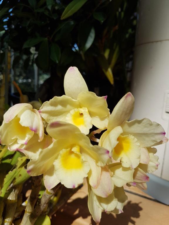 Dendrobium nobile jaune 20200517