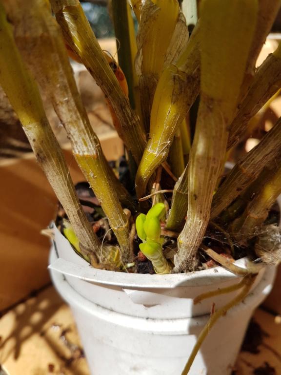 Dendrobium nobile jaune 20200518