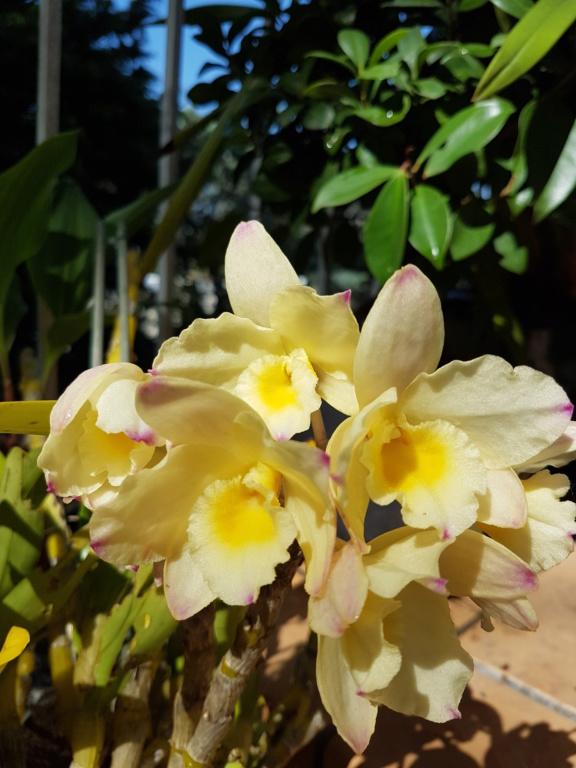 Dendrobium nobile jaune 20200519