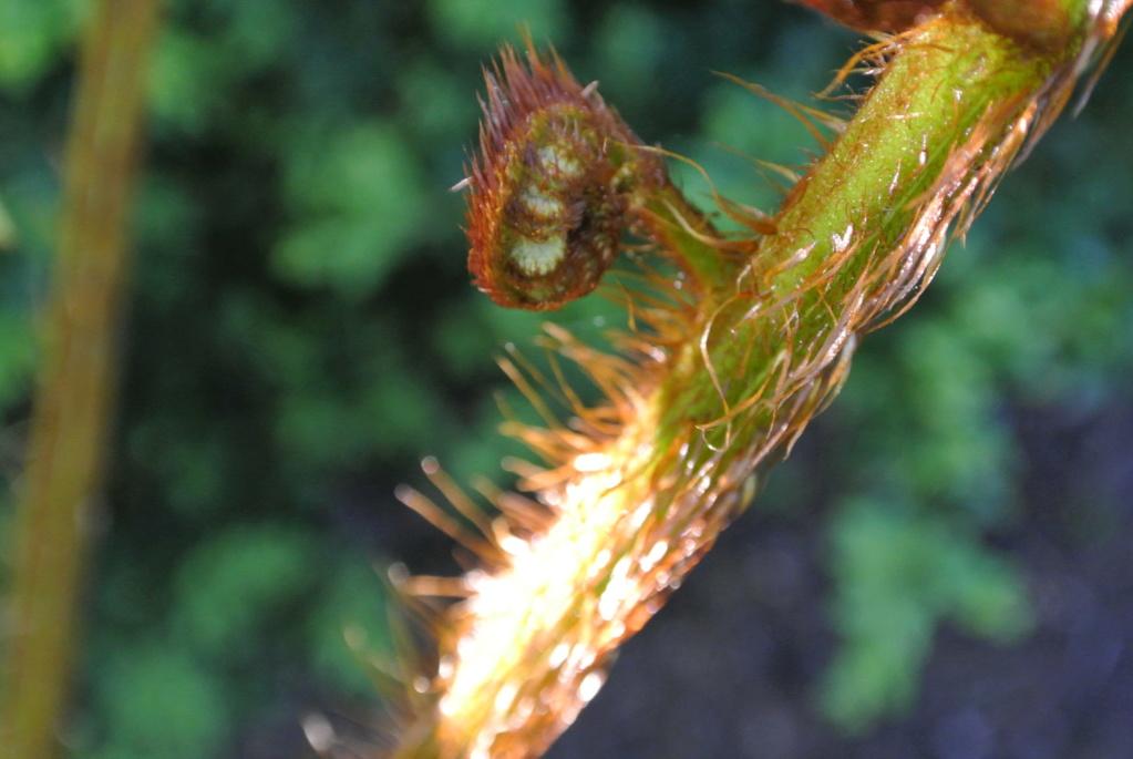 Dicksonia oder Dyathea ? Dsc_1121