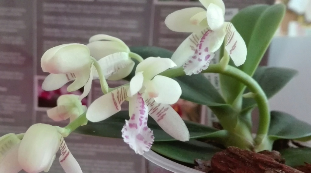 Phalaenopsis japonica ( Sedirea/Aerides japonica) - Seite 4 Img_2022