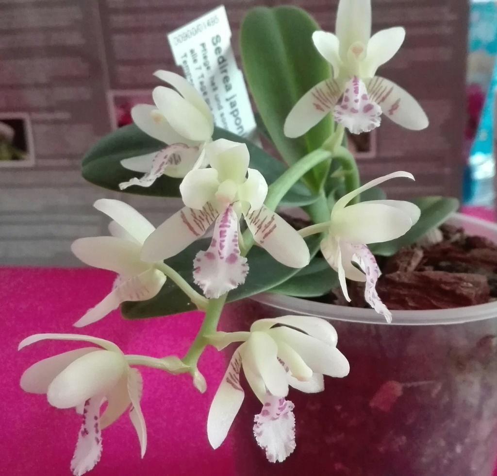 Phalaenopsis japonica ( Sedirea/Aerides japonica) - Seite 4 Img_2026