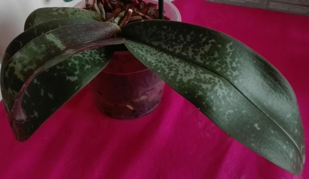Phalaenopsis stuartiana - Seite 5 Img_2029