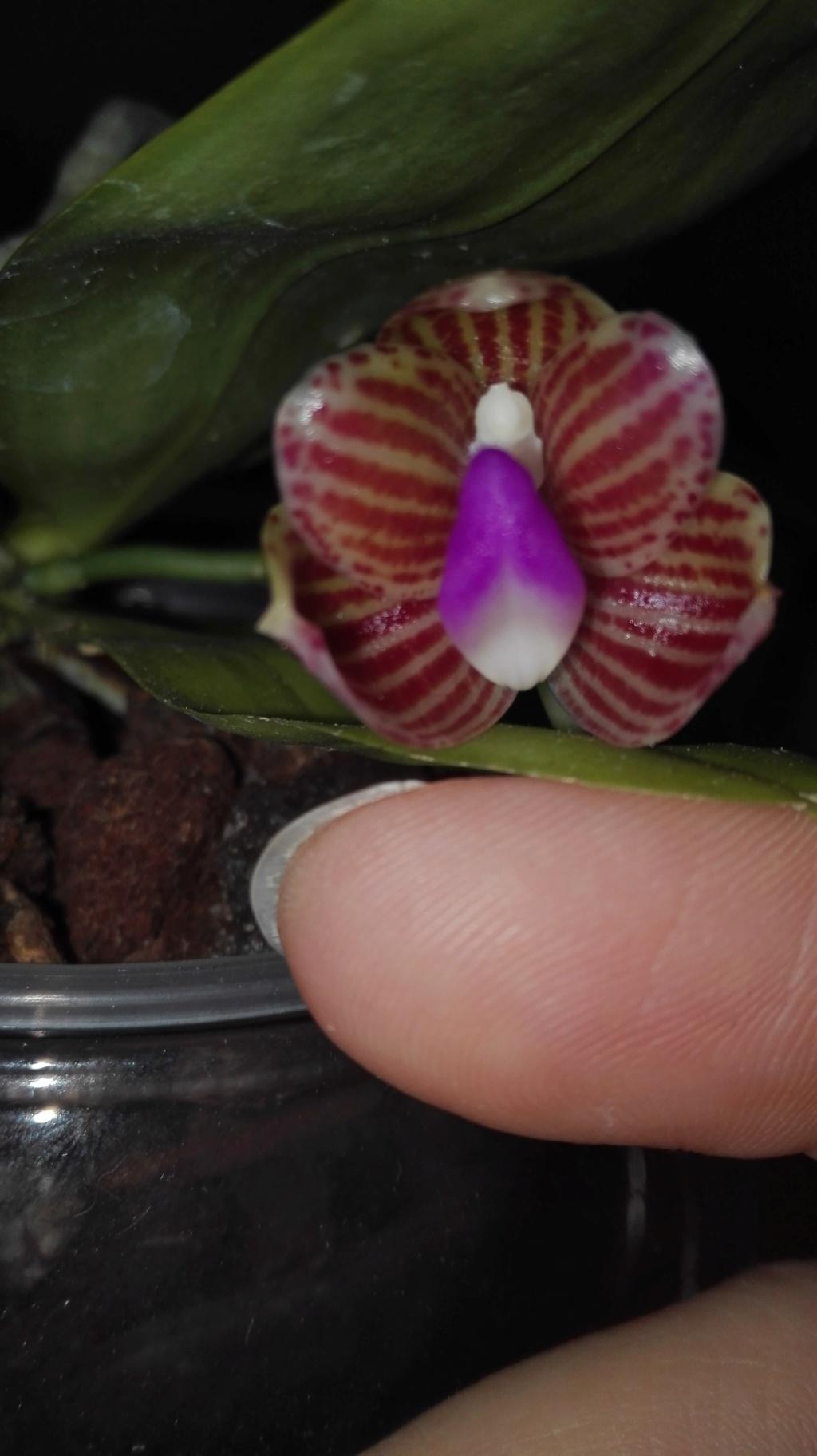 Phalaenopsis javanica - Seite 2 Img_2035
