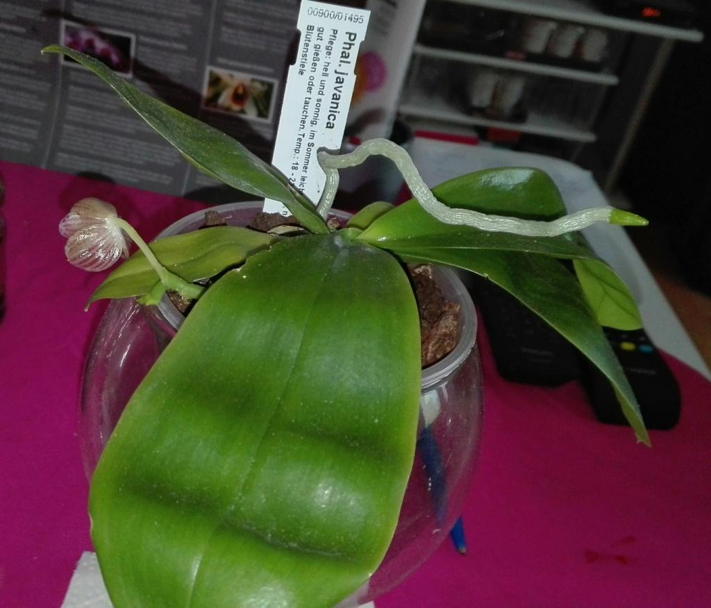 Phalaenopsis javanica - Seite 2 Img_2036