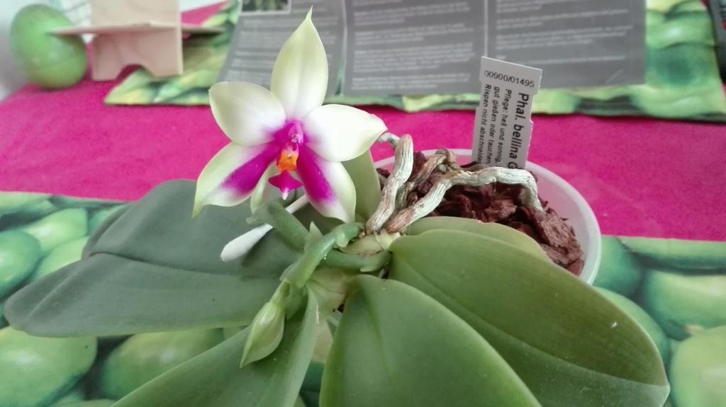 Phalaenopsis bellina - Seite 16 Img_2040