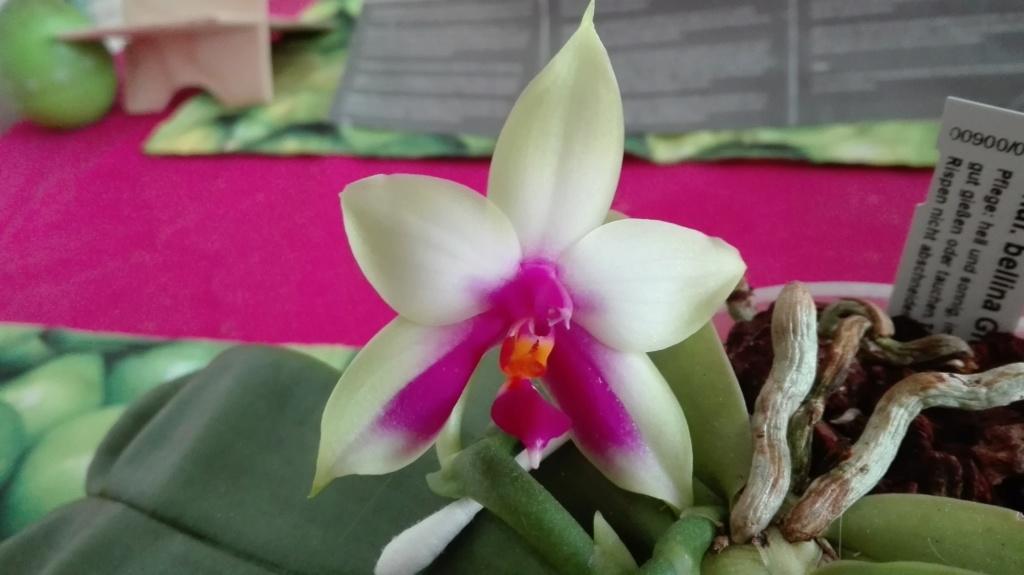 Phalaenopsis bellina - Seite 16 Img_2042
