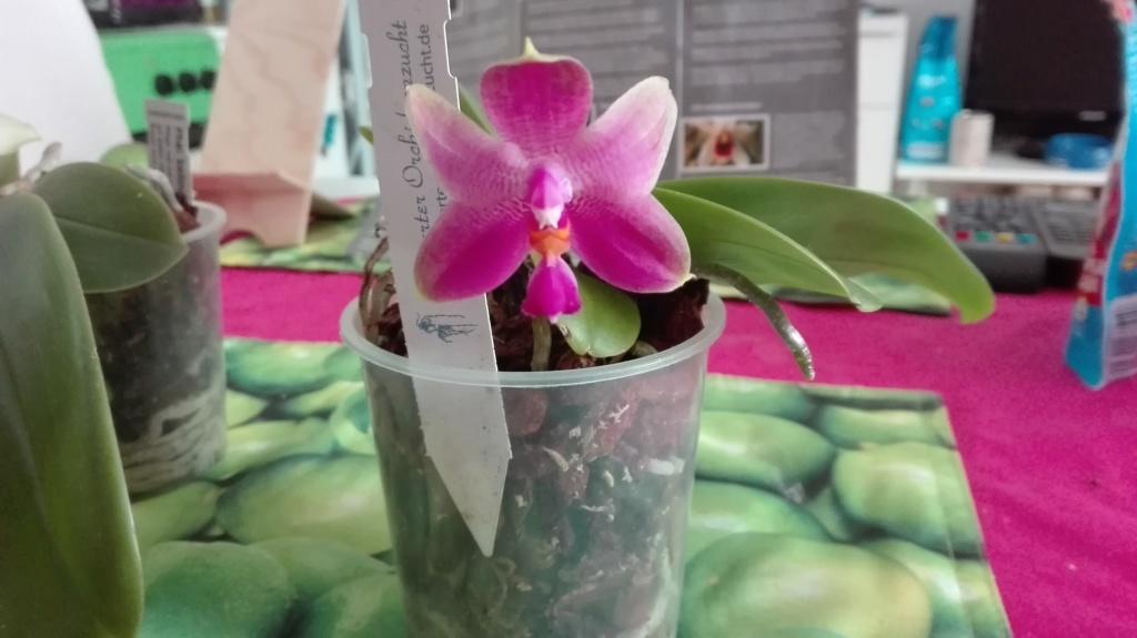 Phalaenopsis Mok Choi Yew x violacea Img_2043
