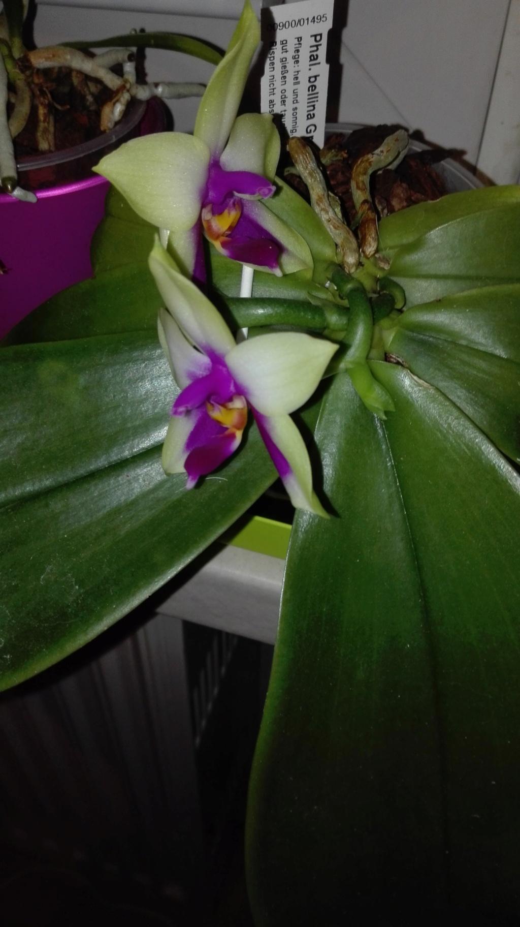 Phalaenopsis bellina - Seite 17 Img_2045