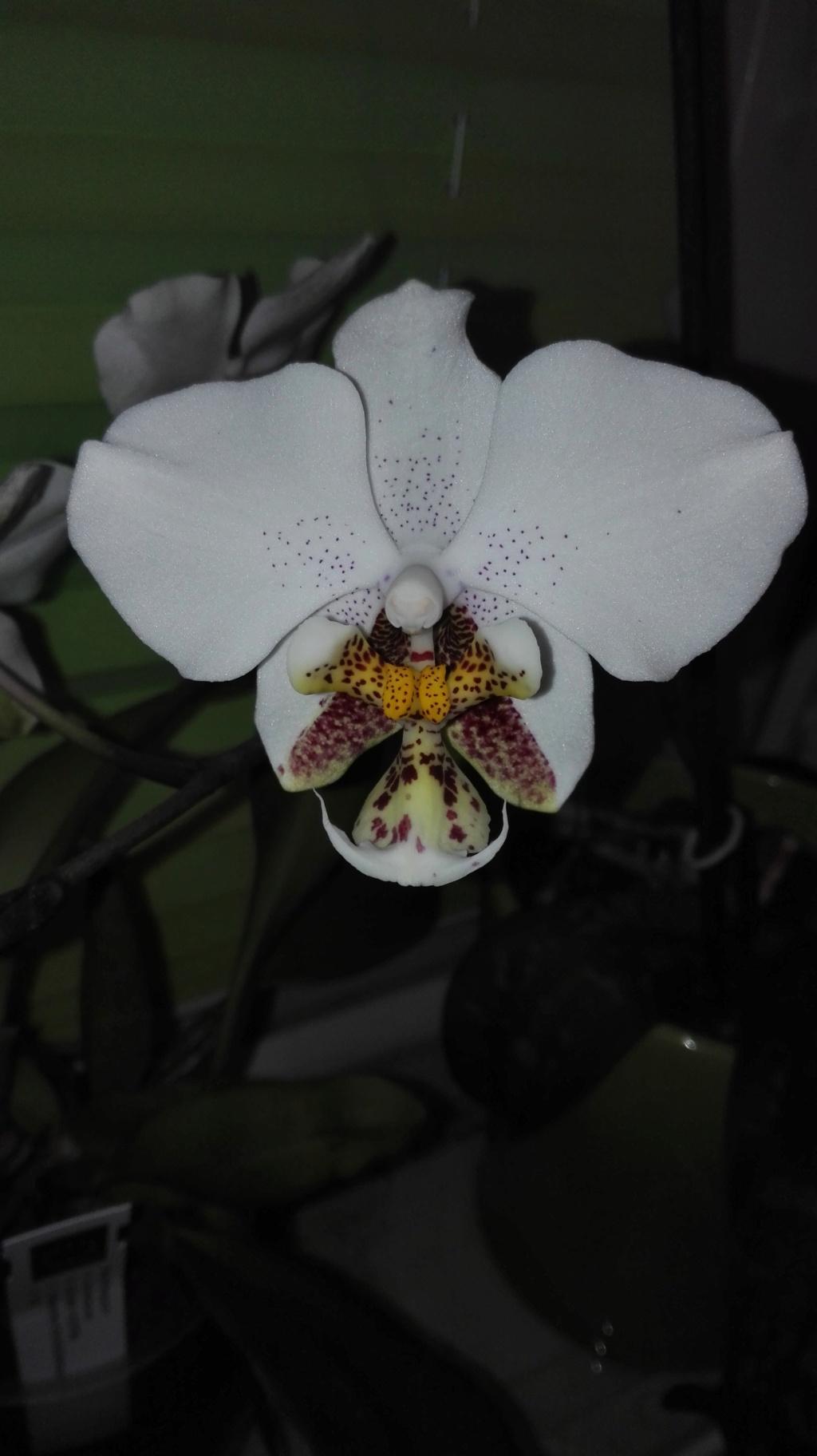 Phalaenopsis stuartiana - Seite 5 Img_2046