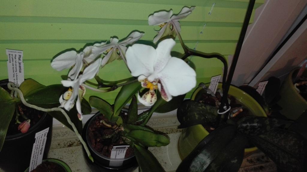 Phalaenopsis stuartiana - Seite 5 Img_2047