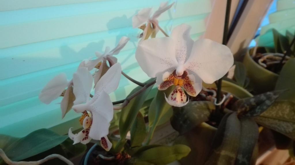 Phalaenopsis stuartiana - Seite 5 Img_2048