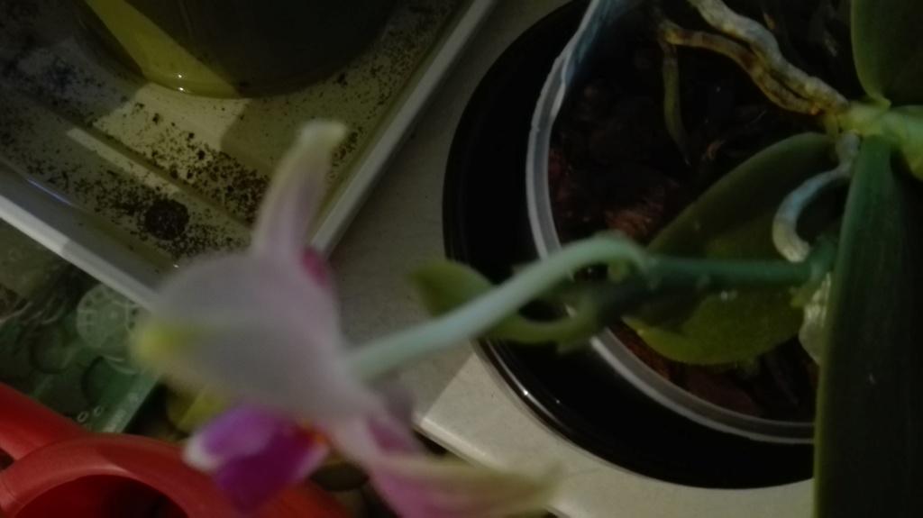 Phalaenopsis Mok Choi Yew x violacea Img_2051