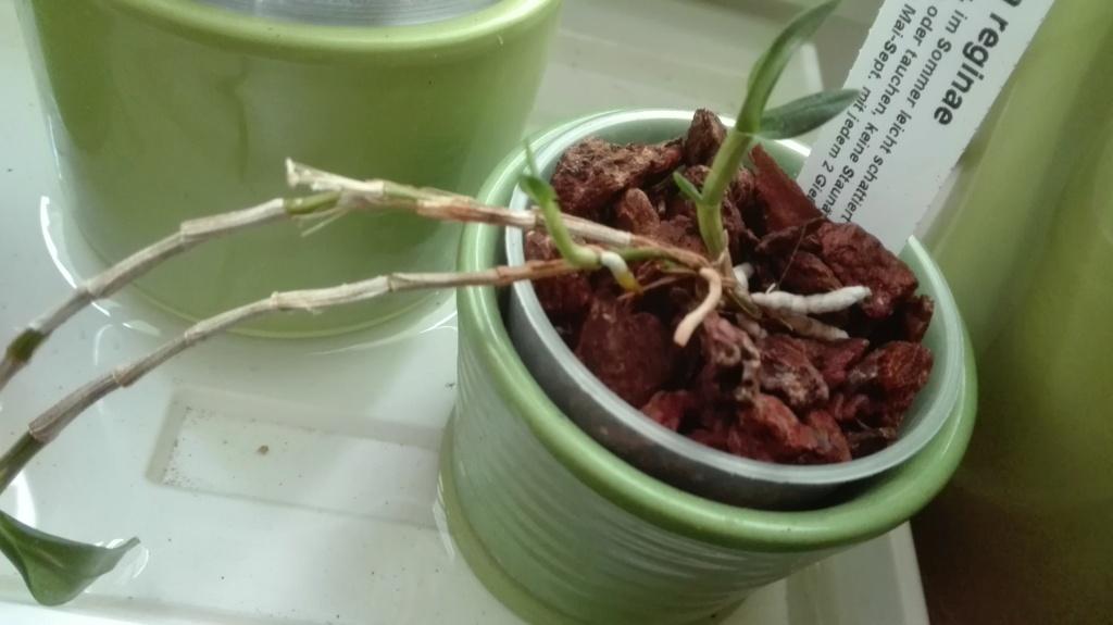 Dendrobium victoria-reginae - Seite 5 Img_2069