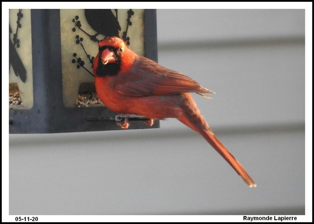 Cardinal rouge Dscn0412
