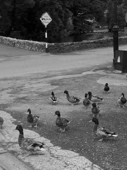 Ducks Crossing Ducks_10