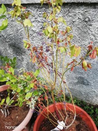 Pianta di mirtillo con foglie e frutti essiccati  Img_2012
