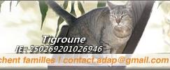 BARNABE, mâle, né le 01/2012    , tabby brown, IE n° 250269802232490 Adap210