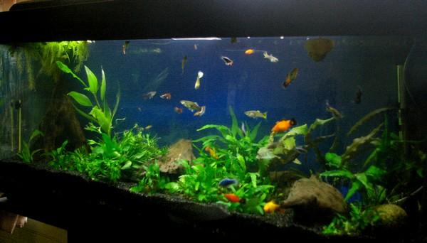 La troupe (5 gerbilles, 2 chats & des poissons) Aqua1210