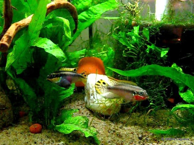 65 gallons (245L) biotope ouest-africains Pelvic12