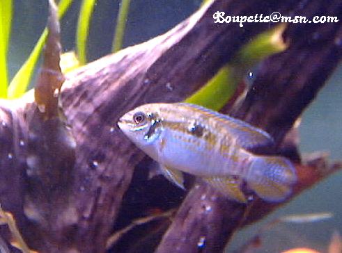 Laetacara araguaiae Photo_10