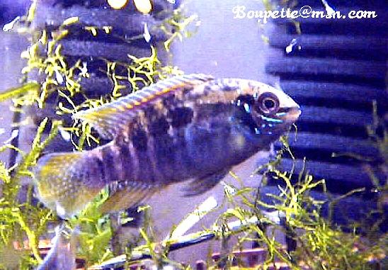 Laetacara araguaiae Photo_11