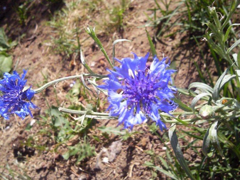Quelques fleurs du jardin Bleuet10