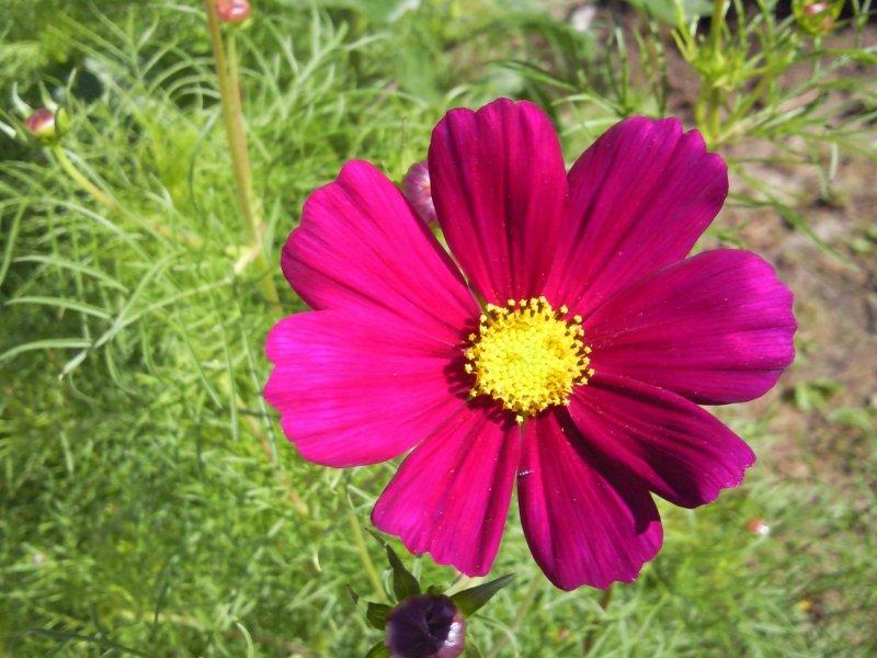 Quelques fleurs du jardin Cosmos10