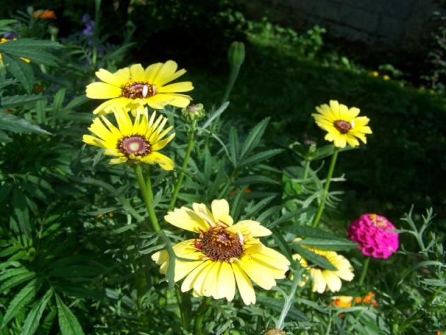 Quelques fleurs du jardin Fleurs13