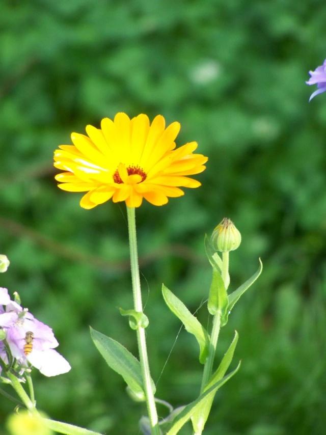 Quelques fleurs du jardin Fleurs14