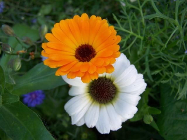 Quelques fleurs du jardin Fleurs15